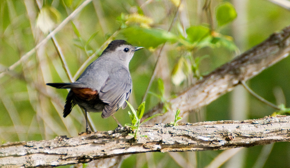 Neuse River Trail – 32 Catbirds and one Black-billed Cuckoo
