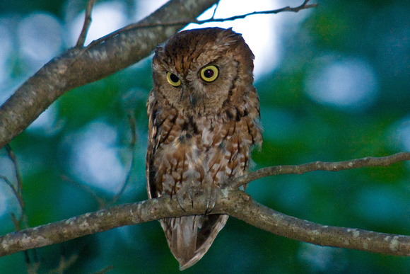 screechowl