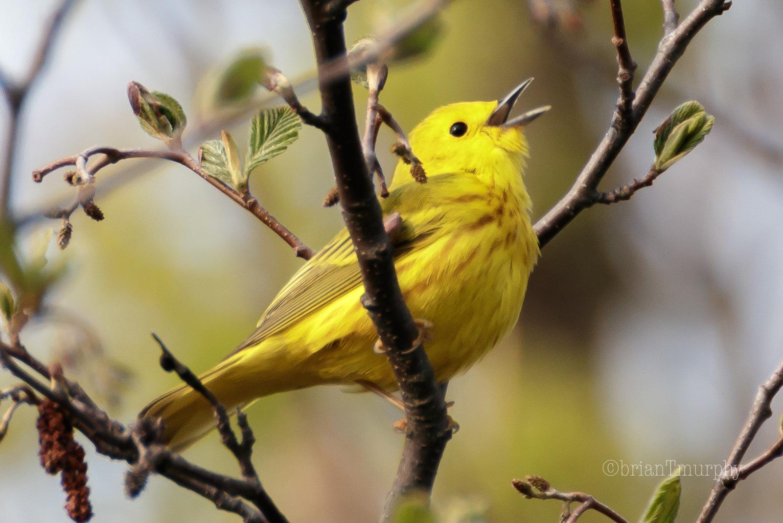 Bird Recordings